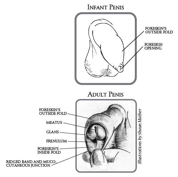 foreskindiagram
